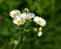 Daisy Fleabane Flowers 3
