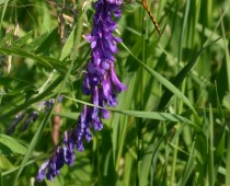 Purple Vetch with Dragonfly