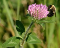 Red Clover Bumble Bee