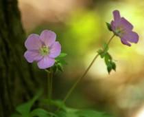 Wild Geranium – CBenham