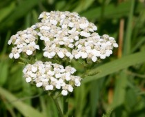 Yarrow Blossoms 2