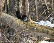 black squirrel crop1