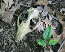 IMG_8066 Opossum skull